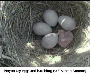 Pinyon Jay nest with four eggs and a hatchling