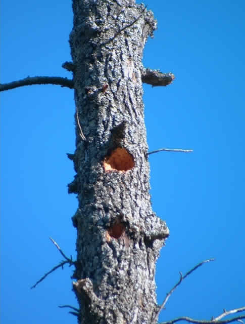 Woodpecker excavations in a tree